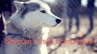 Siberian Husky Compilation