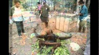 International Orangutan Conservation Relief.wmv