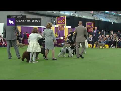 Spanish Water Dogs | Breed Judging 2019