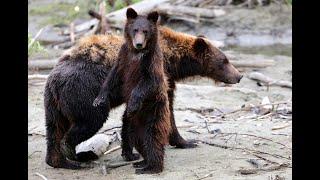 منوعات الآن | كيف أنقذت الشرطة في كاليفورنيا جرو الدب الذي علق رأسه في ابريق بلاستيكي؟