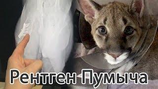 Делаем рентген котёнку пумы