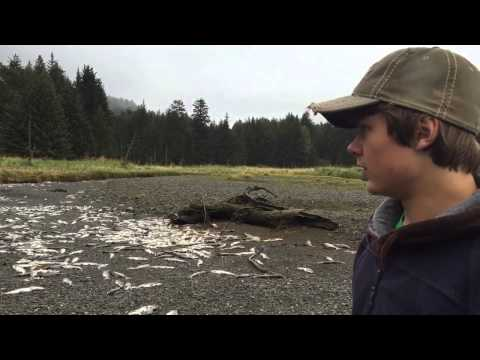 Salmon Die-Off - Jakolof Creek Alaska