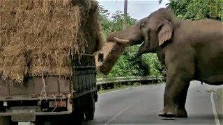「停車!這是搶劫!」泰國大象攔車搶牧草《國家地理》雜誌