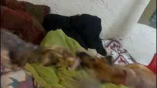 Yorkshire Terrier Vs. Rhodesian Ridgeback German Shepherd Mix