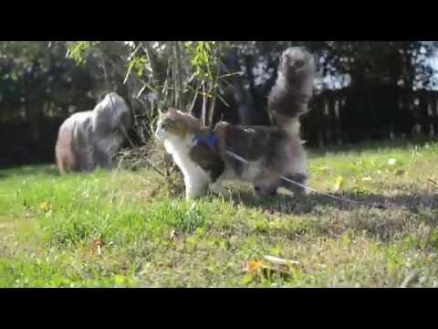 Norvég Erdei Macska ❇ Norwegian Forest Cat ❇ Pite 8 months old ❇