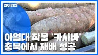 세계 8대 농작물 '카사바'...충북에서…