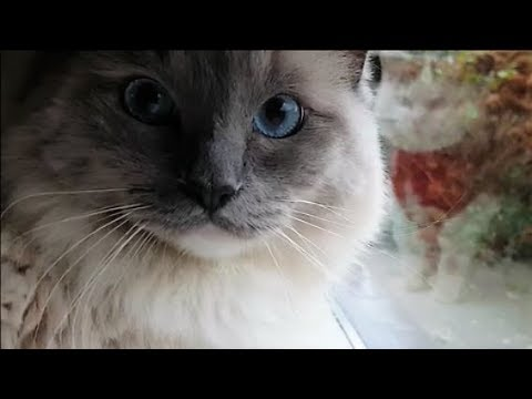 Are You a Cat Person?  You Will Love This Video. (Bowie The Ragdoll Cat & Bella)