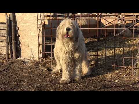 Mioritic Shepherd Dog For Sale Uk