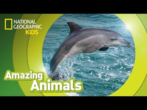 Bottlenose Dolphin 🐬   AMAZING ANIMALS