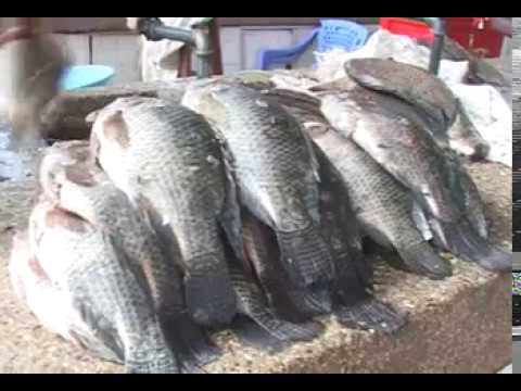 Lake Victoria Fish Farmers Adopt New Fishing Innovation