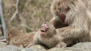 【SNOW MONKEY】 Mother Raise Two Babies 9 地獄谷野猿公苑