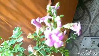 HOW TO CARE AND GROW TRUMPET VINE PLANT.