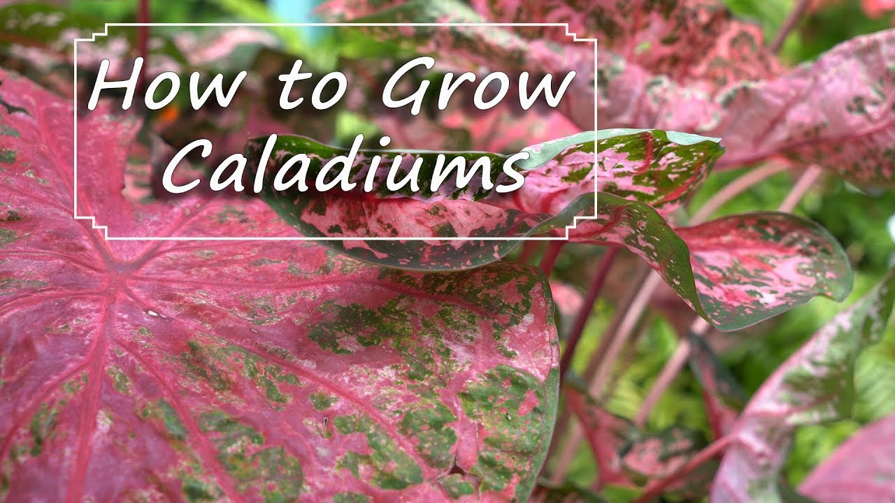 Caladium Care Planting Growing Storing Bulbs Youtube