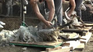 Tonte des moutons en Corse
