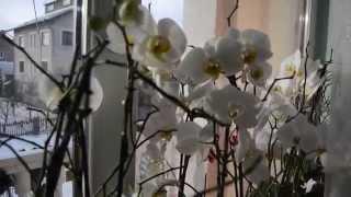 Уход за орхидеями(Полив раз в неделю Мой метод полива. Простые принципы правильного ухода Результат на лицо., 2015-01-16T01:23:34.000Z)