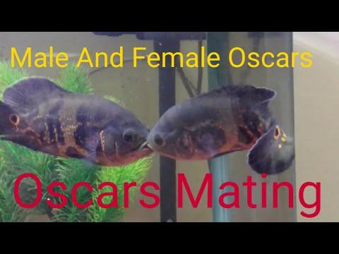 Oscar Fish Mating