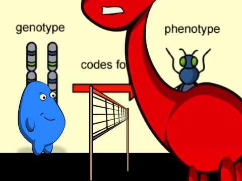 Genotype vs Phenotype - YouTube