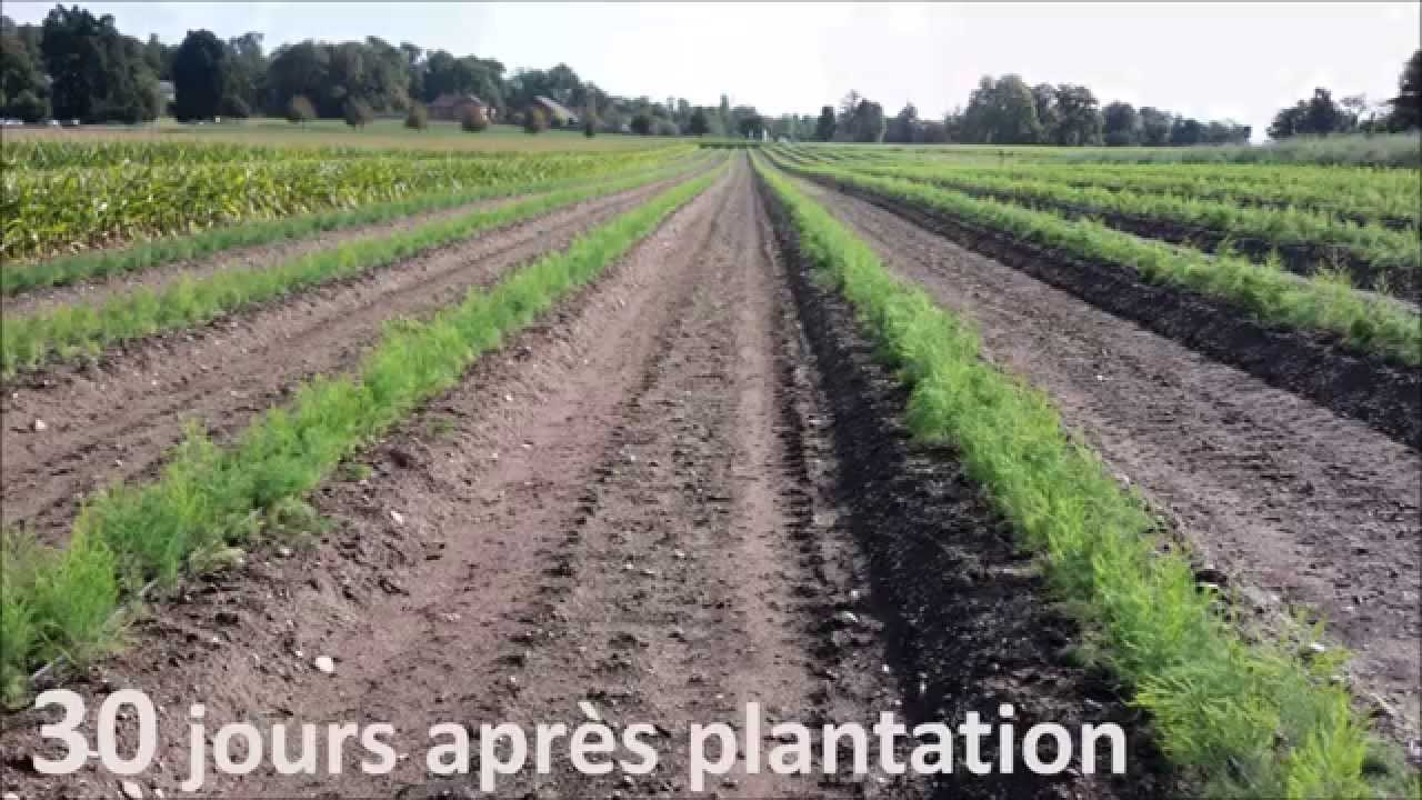 plants d 39 asperge en motte plantation manuel plantara p pini re youtube. Black Bedroom Furniture Sets. Home Design Ideas