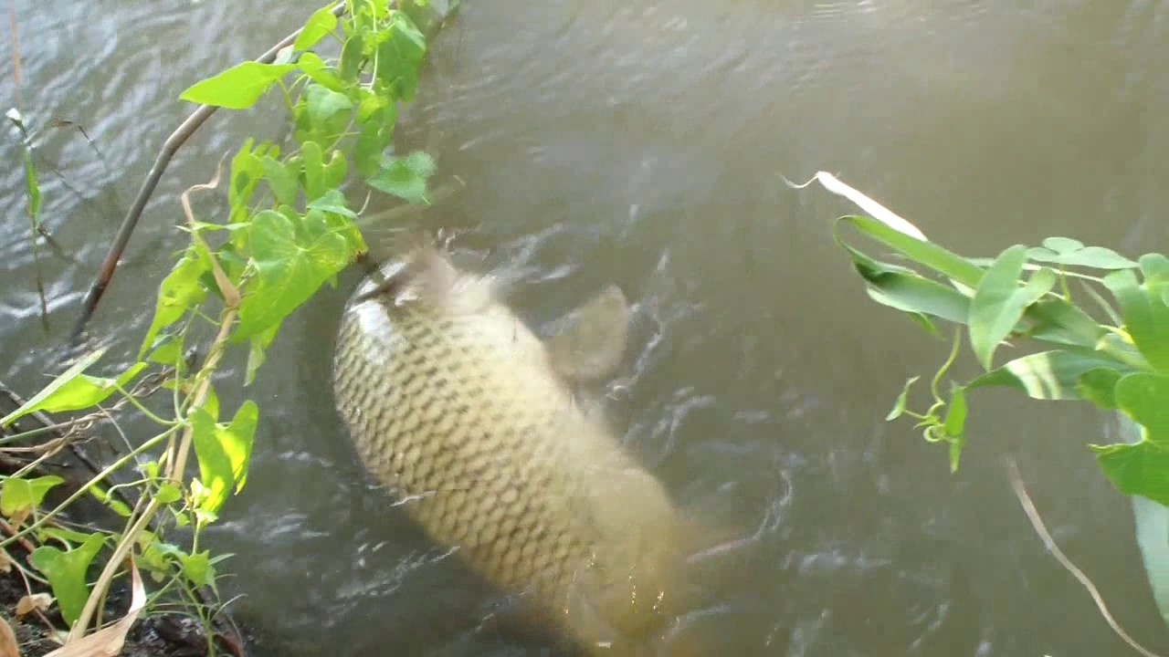 ловля сазана на реках краснодарского края