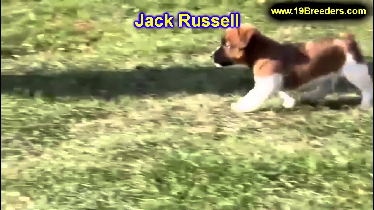 Jack Russell, Puppies, For, Sale, In, Milwaukee, Wisconsin, WI, Brookfield,  Wausau, New Berlin, Fond