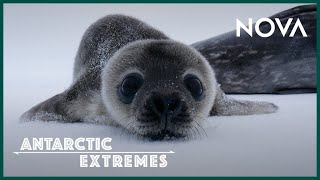 How Antarcticas Cutest Baby Seals Grow Up I Antarctic Extremes