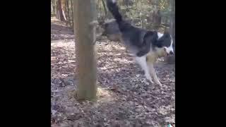 Dog Displays MindBlowing Parkour Skills  11896076