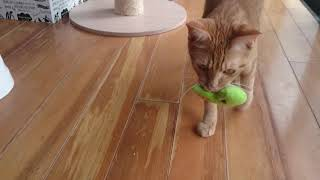 【おりこう猫】持ってこい遊びが出来るにゃんこ