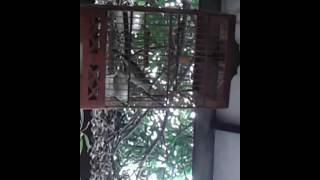 Gambar cover Kecial kombok gacor ampenan lombok