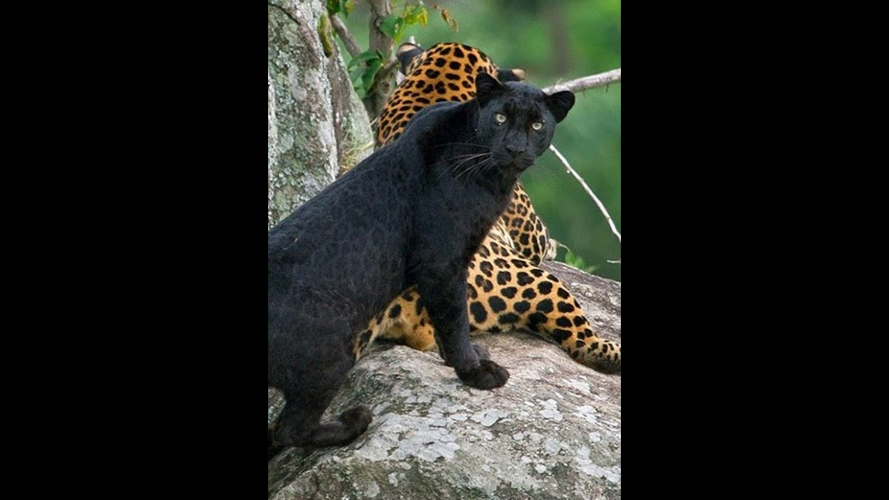 INDIAN BLACK PANTHER & TIGERS VIDEO... - YouTube - photo#16