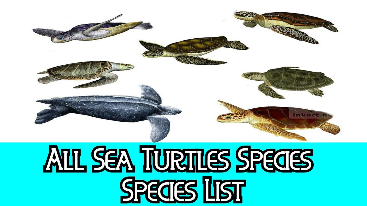 an analysis of the sea turtle species The six species of sea turtles in the us are protected under the endangered   sea turtle poacher sentenced in felony case using noaa forensic analysis.