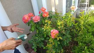 Want More Roses? Cut the Dead Ones