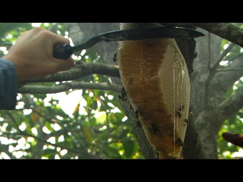 Dan Snow collects honey - Seven Wonders of the Commonwealth: Preview - BBC One