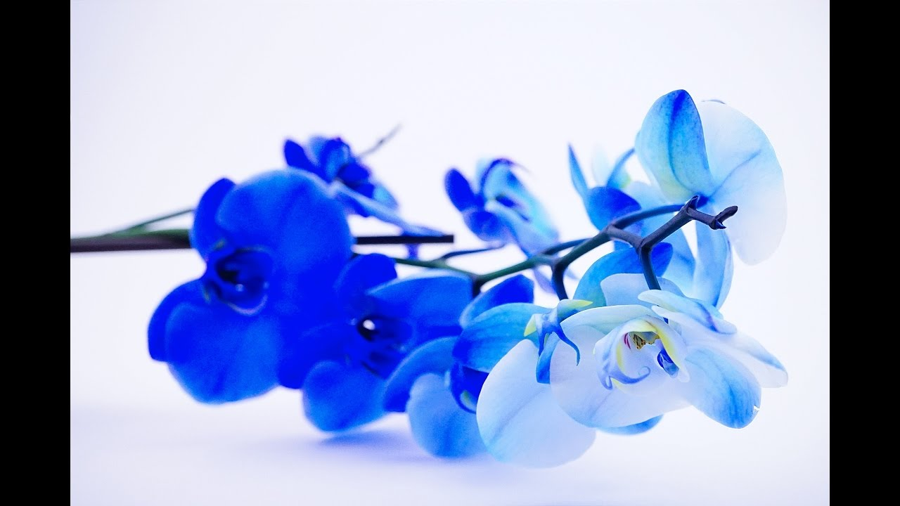 Blue Orchid Youtube
