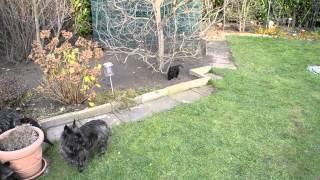 Cairn Terrier Vom Stromerhof   Welpen 8 Wochen