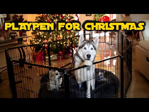 Siberian Husky Reacts To Christmas Present | Pawscoo Dog Playpen Review