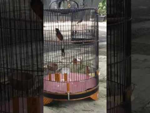 Tes Murai Batu Aceh Tangse Youtube