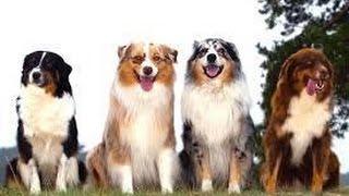 ペットで犬を飼おうと迷っている方へ〜オーストラリアン・シェパード〜 ...