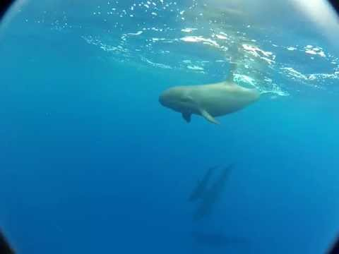 Hawaiian false killer whales (Pseudorca crassidens), share food and approach boat, Hawaii