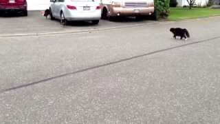Epic Cat chases Dog!! Warning!! Lots of hysterical laughter!