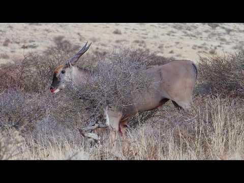 Hunting Trophy Cape Eland in the Kalahari