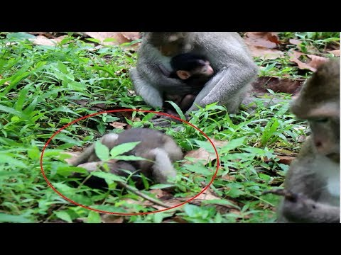Mother Fight Baby Cry On Ground Hit Again Daily Monkeys Man #197