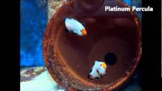 Sustainable Aquatics Designer Clownfish Tour