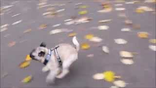 Pug Doing Zoomies With His Daddy In Fall Autumn (full Length)