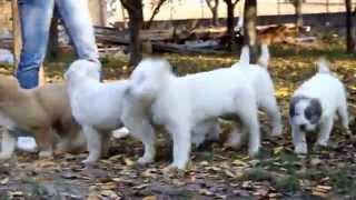 Central Asian shepherd dogs (alabay) from Ruski Izvor kennel.MOV
