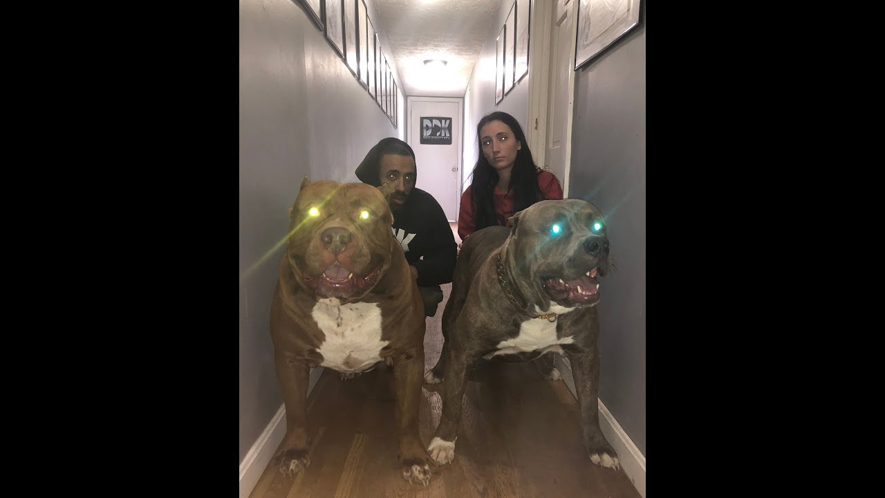 best-of-giant-family-pitbull-the-hulk-2018-amazing