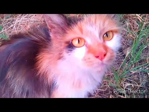 Turkish angora cat and persian cat as neighbour