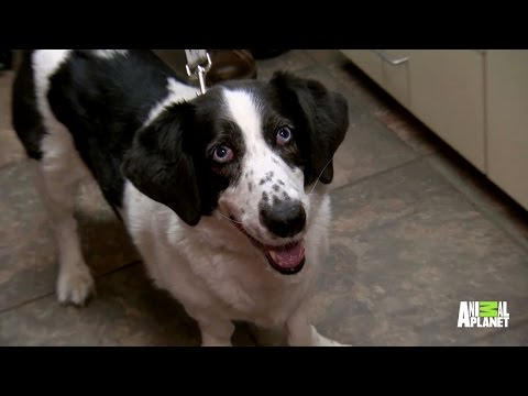 Dog Gets Surgery to Remove Bladder Stones