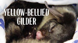 Yellow-bellied Glider Treated at Taronga Wildlife Hospital