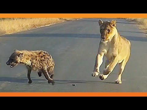 Three-Legged Hyena Falls Right Into Lion's Trap
