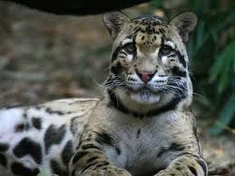 National Geographic Wild Clouded Leopard Rescue